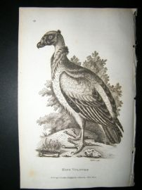 Shaw C1810 Antique Bird Print. King Vulture
